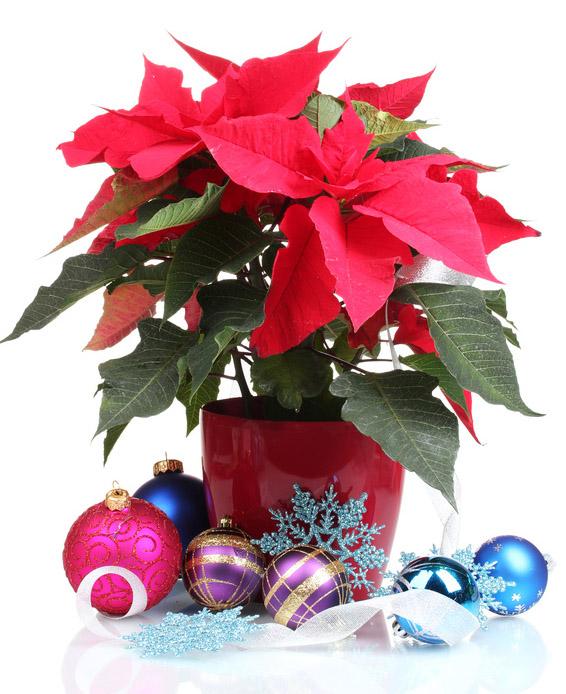 Centrotavola Stella Di Natale.Centrotavola Natalizio O Stella Di Natale Per Augurare Buone Feste