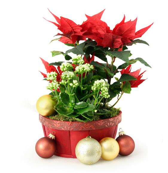 Confezioni Piante Natalizie : Frasi di auguri per il natale natalizie