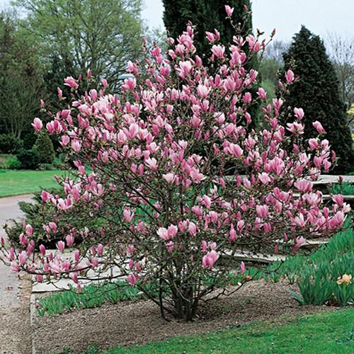 semi magnolia soulangeana colore rosa piante e fiori dal. Black Bedroom Furniture Sets. Home Design Ideas