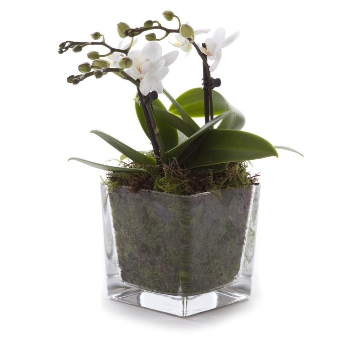 Centrotavola con orchidea phalaenopsis bianca for Orchidea foglie gialle