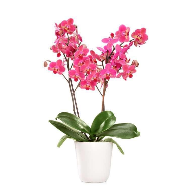Orchidea phalaenopsys viola pianta fiorita inviare for Orchidea foglie gialle