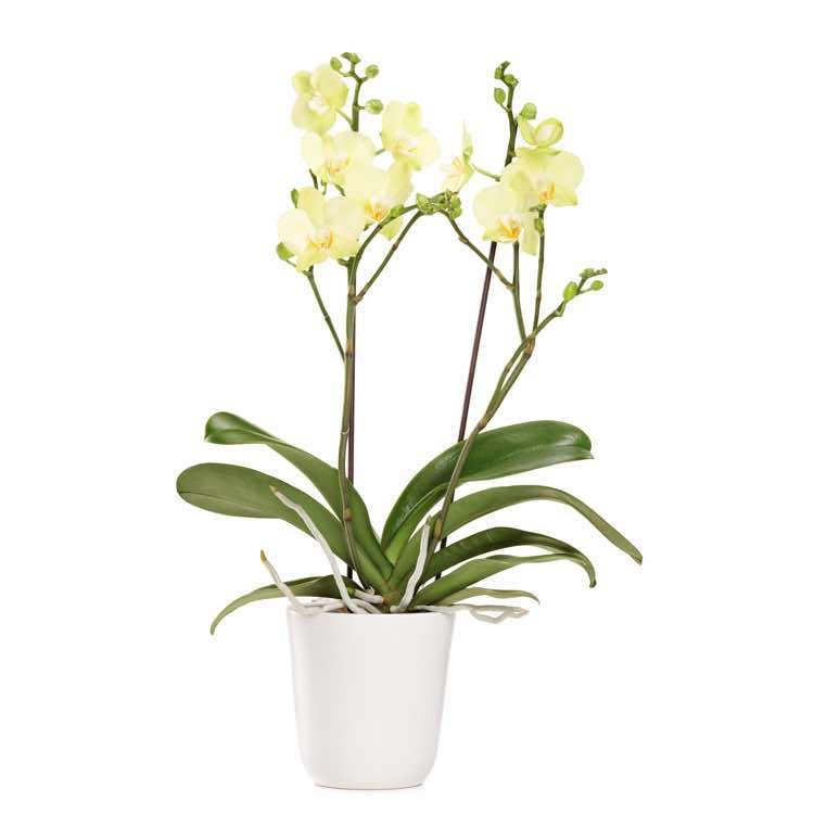 Orchidee invio e consegna di orchidee a domicilio in italia for Orchidea foglie gialle