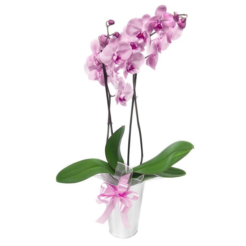 Orchidea ophalenopsis rosa