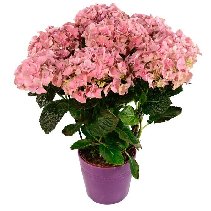 Pianta fiorita in italy invio e consegna di pianta for Pianta fiorita da esterno