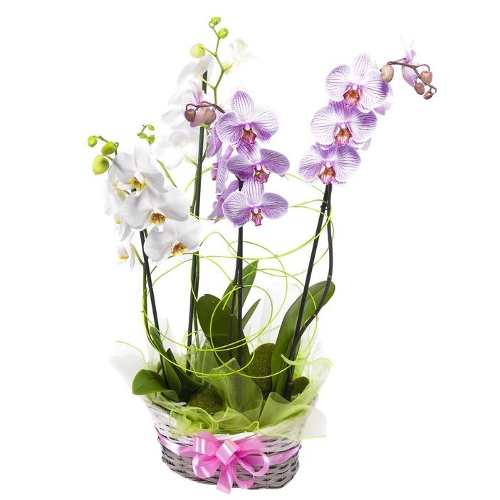 Super Orchidee | Invio e Consegna di Orchidee a domicilio in italia FX61